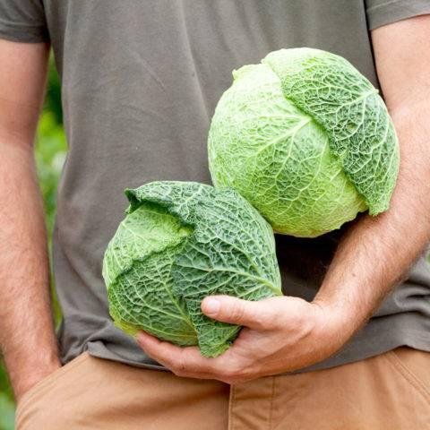 Савойская капуста, ее польза и вред