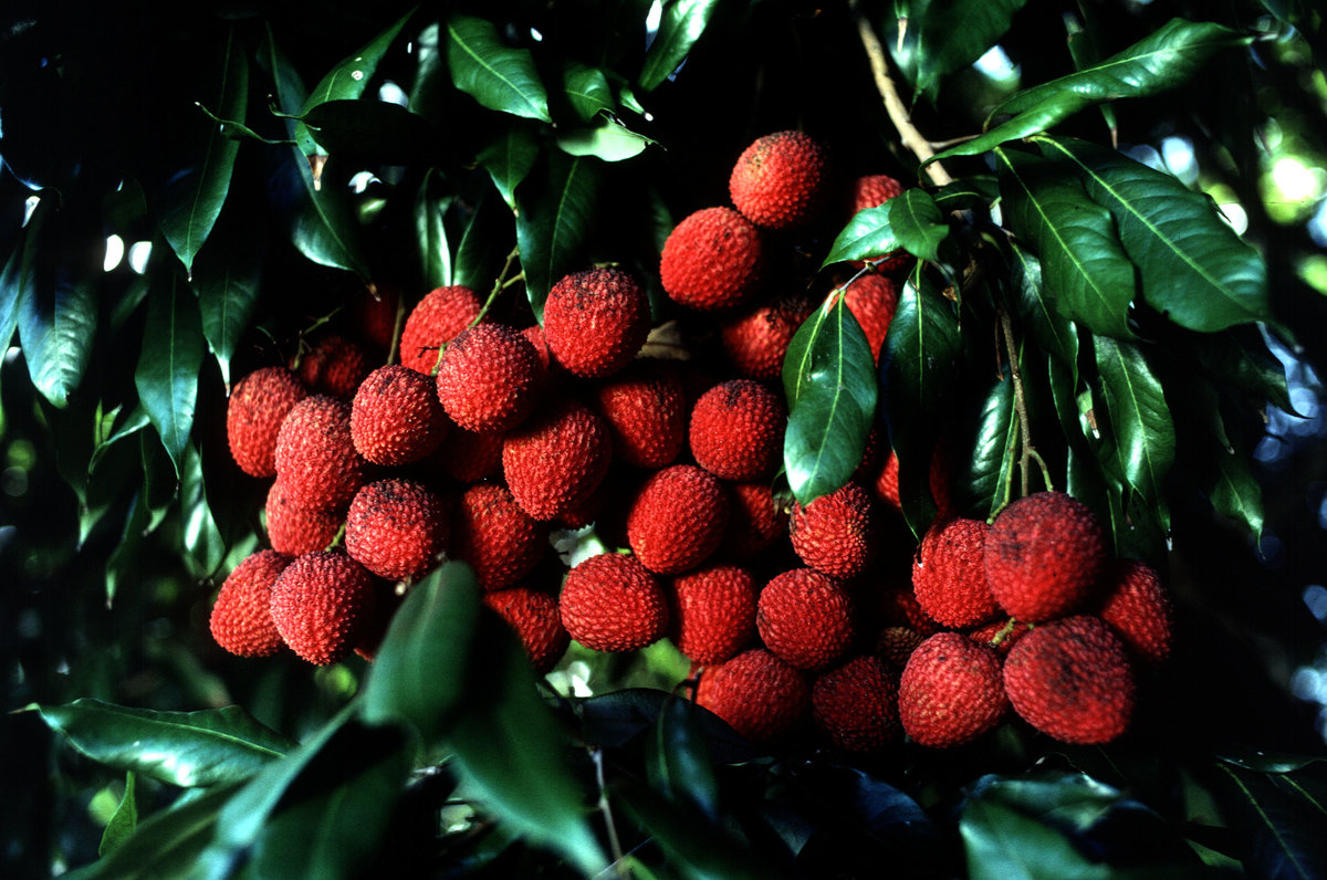 Конфетное дерево — полезные сладости прямо с веток