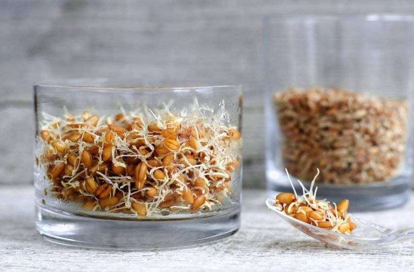 Пророщенные семена злаков – здоровье от природы! способы проращивания и рецепты из проростков