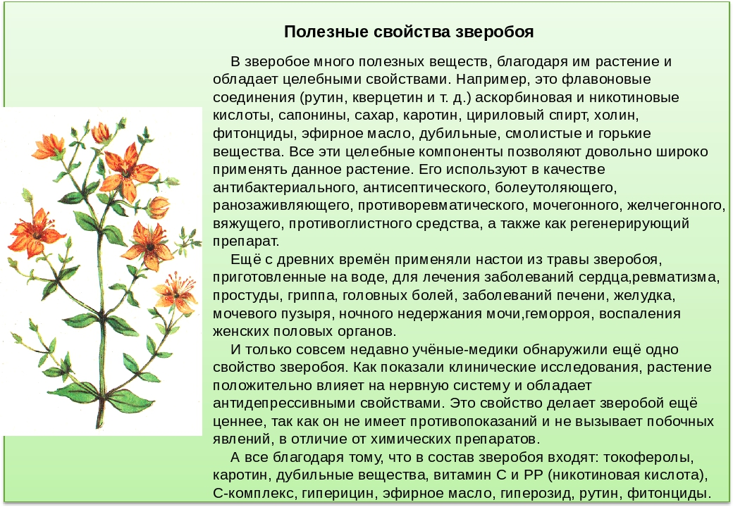 Чем полезна трава зверобоя, ее целебные свойства, возможные противопоказания к применению
