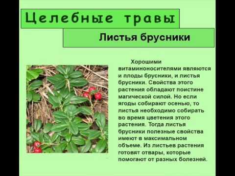 Как связаны между собой лечебные свойства и противопоказания листьев брусники?