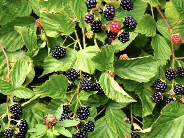 Сила ежевики в ее листьях: лечебные свойства и противопоказания
