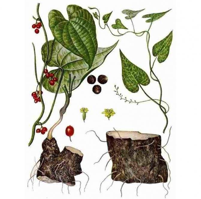 Адамов корень: полезные свойства, рецепты