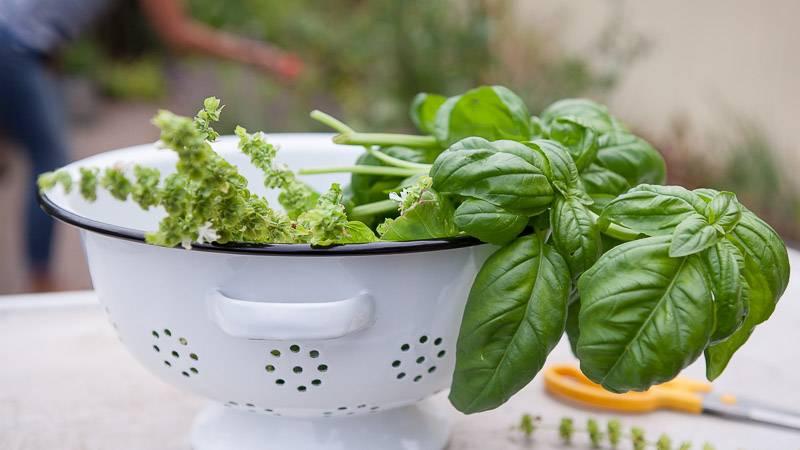 Как сушить на зиму базилик. как сушить ароматный базилик в домашних условиях