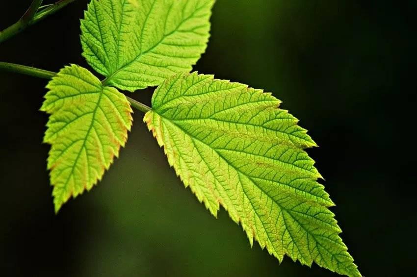 Лечебные свойства листьев малины, правила сбора, хранения и применения сырья