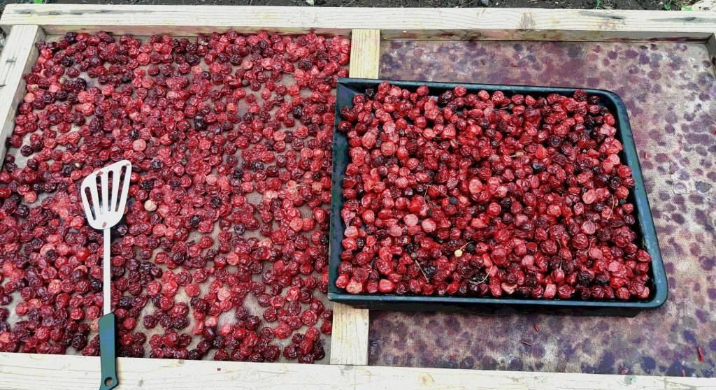 Сушка вишни в электросушилке. заготовка сушеных ягод, овощей и фруктов