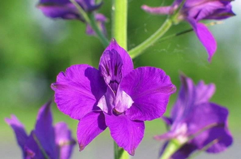 Лечебные свойства и применение растения живокость полевая