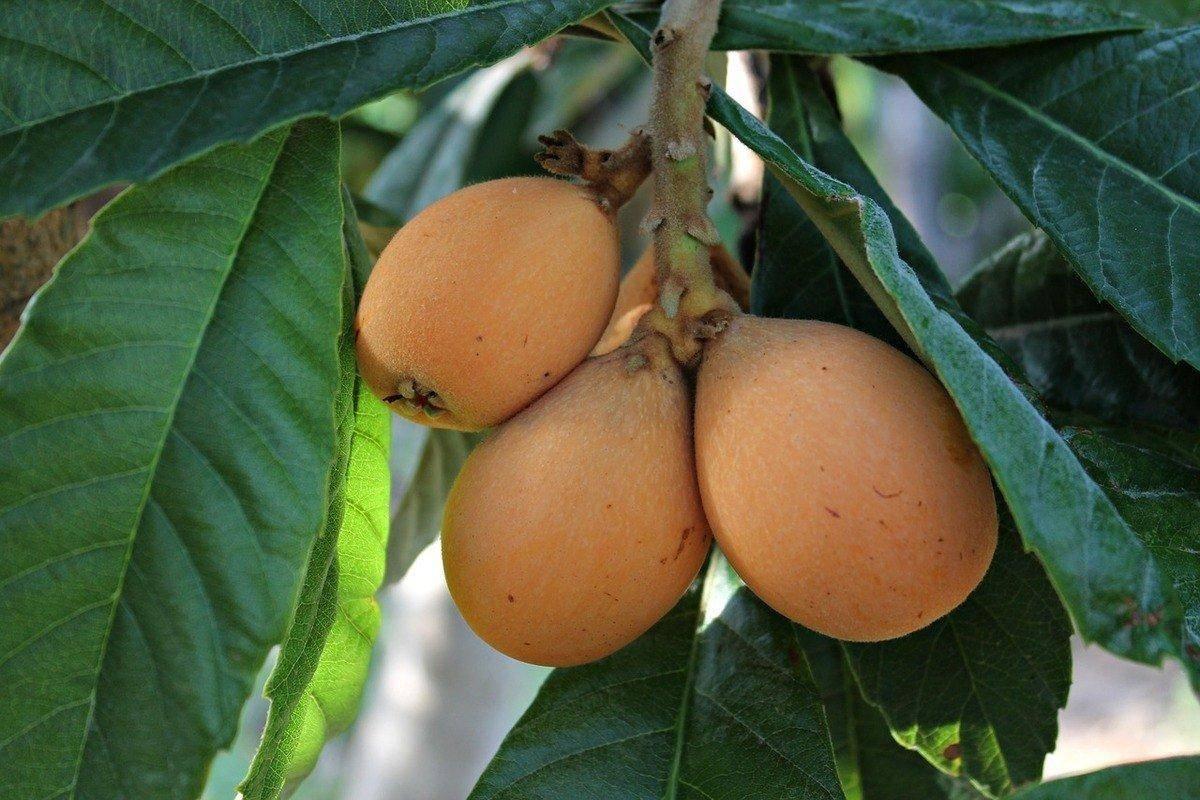 Мушмула фрукт польза и вред
