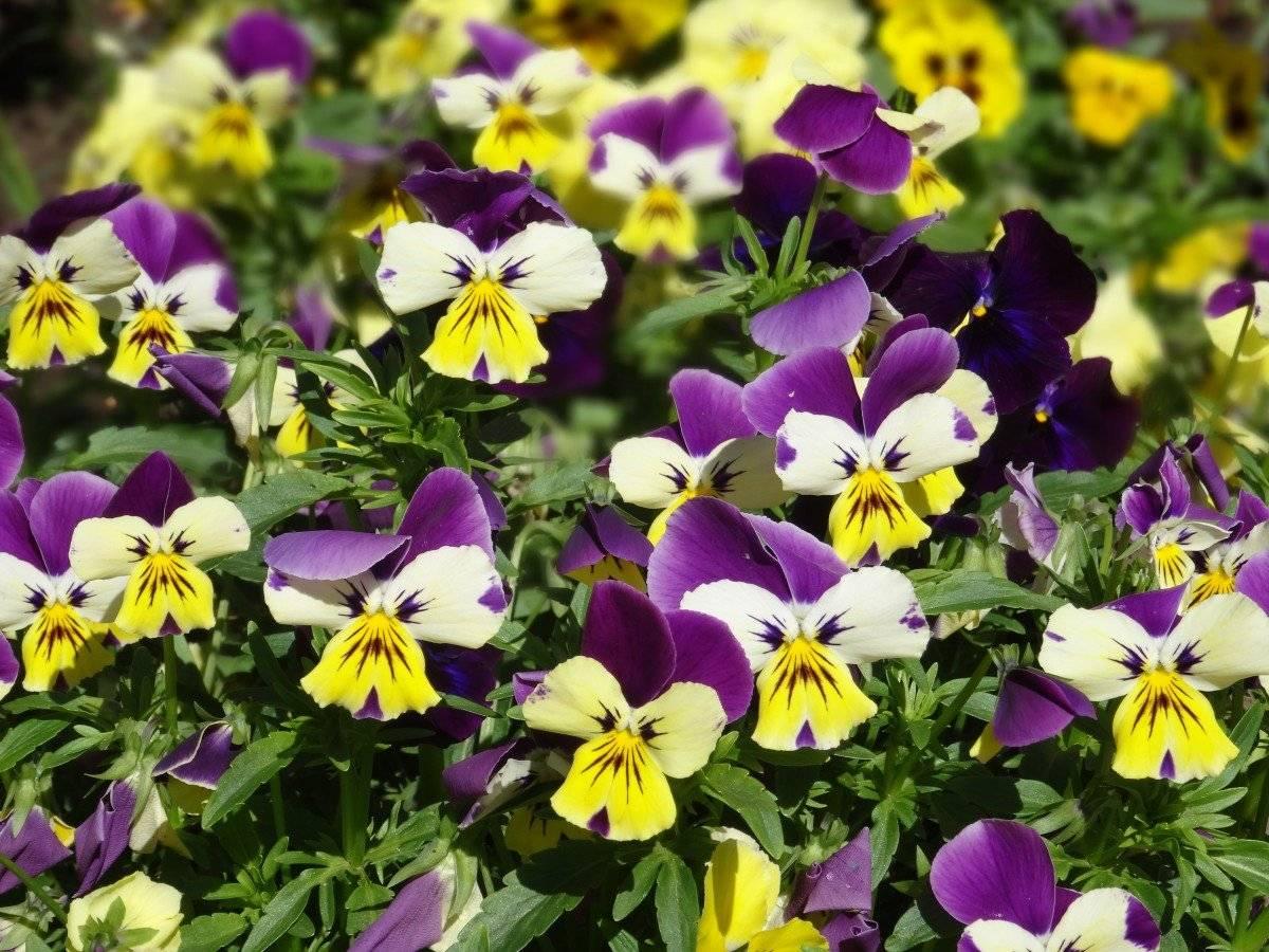 Полезная трава фиалки: лечебные свойства и противопоказания