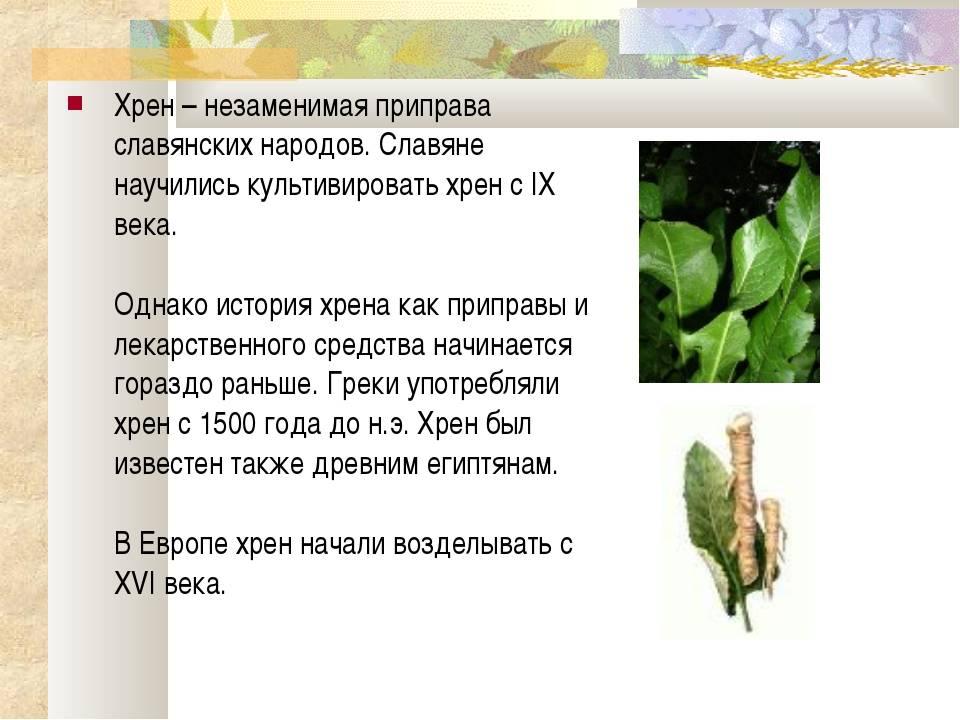 Жгучий и пряный овощ — хрен столовый, расскажем о его пользе и вреде для здоровья