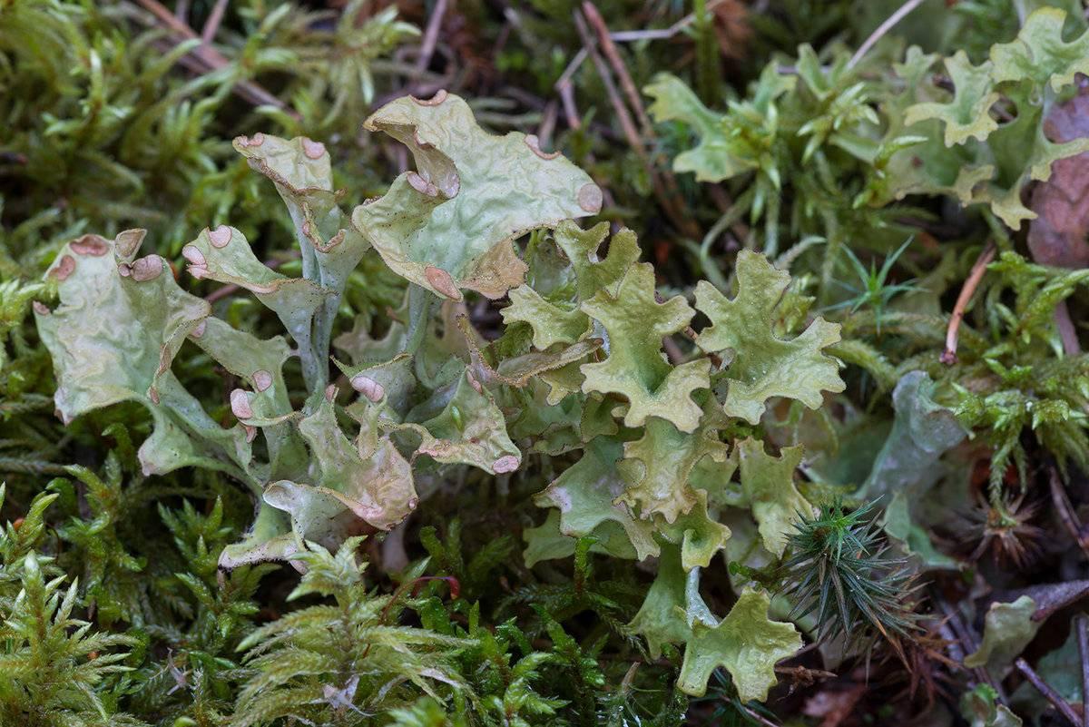 Натуральное и эффективное средство от кашля – исландский мох