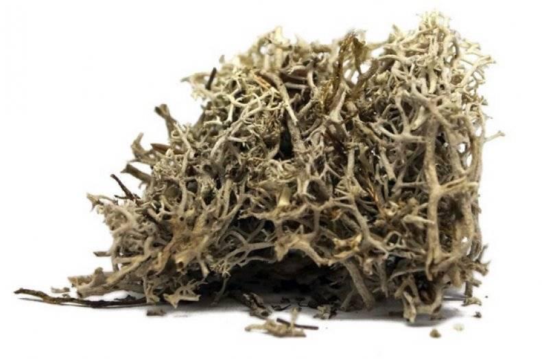 Исландский мох: его лечебные свойства и применение