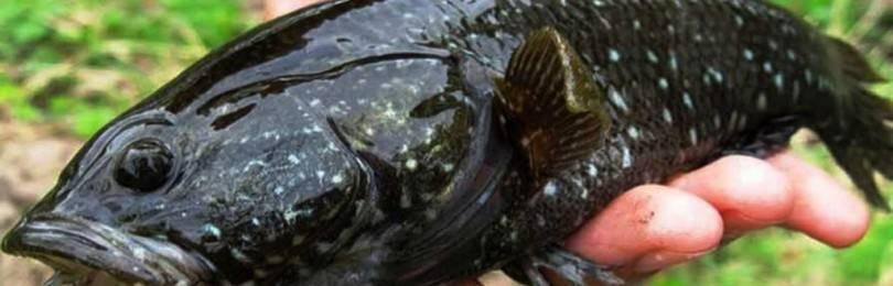 Ротан рыба. описание, особенности и среда обитания рыбы ротан