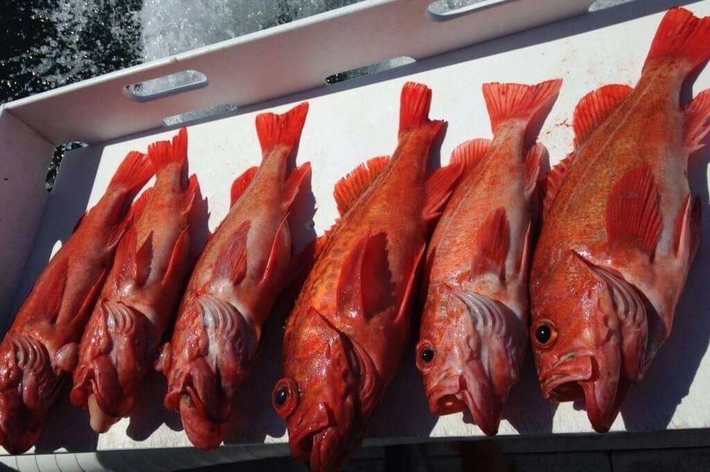 Морской окунь: польза и вред, употребление в пищу
