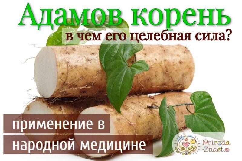 Целебные свойства, рецепты приготовления адамова корня и способы лечения