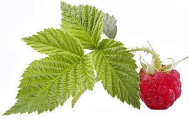 Листья малины — лечебные свойства и противопоказания