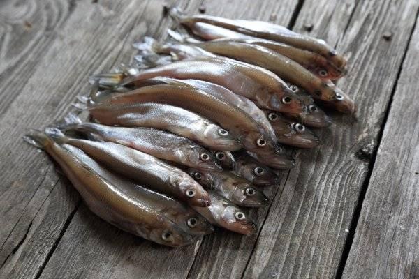 Рыба корюшка фото и опсиание, где водится корюшка (обиатет), польза и вред