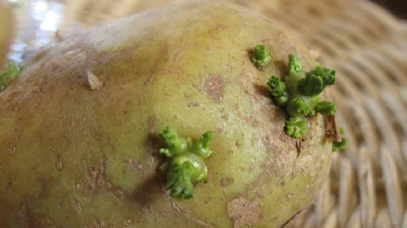 Можно ли есть позеленевший картофель