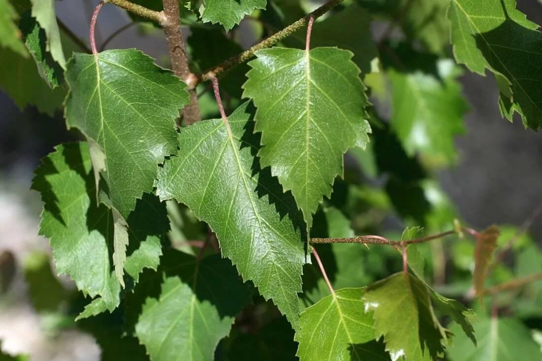 Листья березы: лечебные свойства, применение и противопоказания