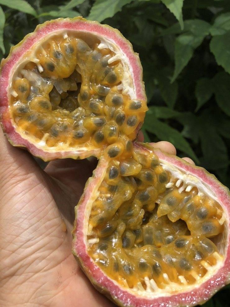Так ли полезна маракуйя, как ее малюют? разберем тропический фрукт от кожуры до косточек
