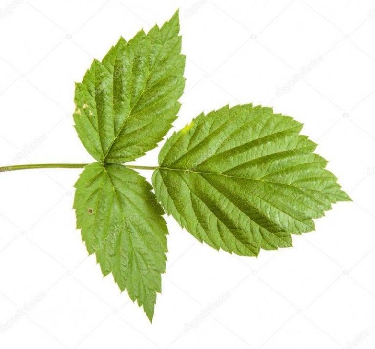 Листья малины: лечебные свойства и противопоказания в народной медицине