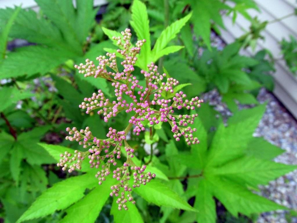 Трава лабазник, лечебные свойства и противопоказания