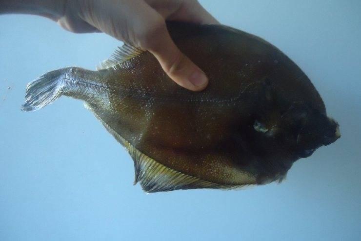 Рыба камбала, польза и вред для здоровья человека