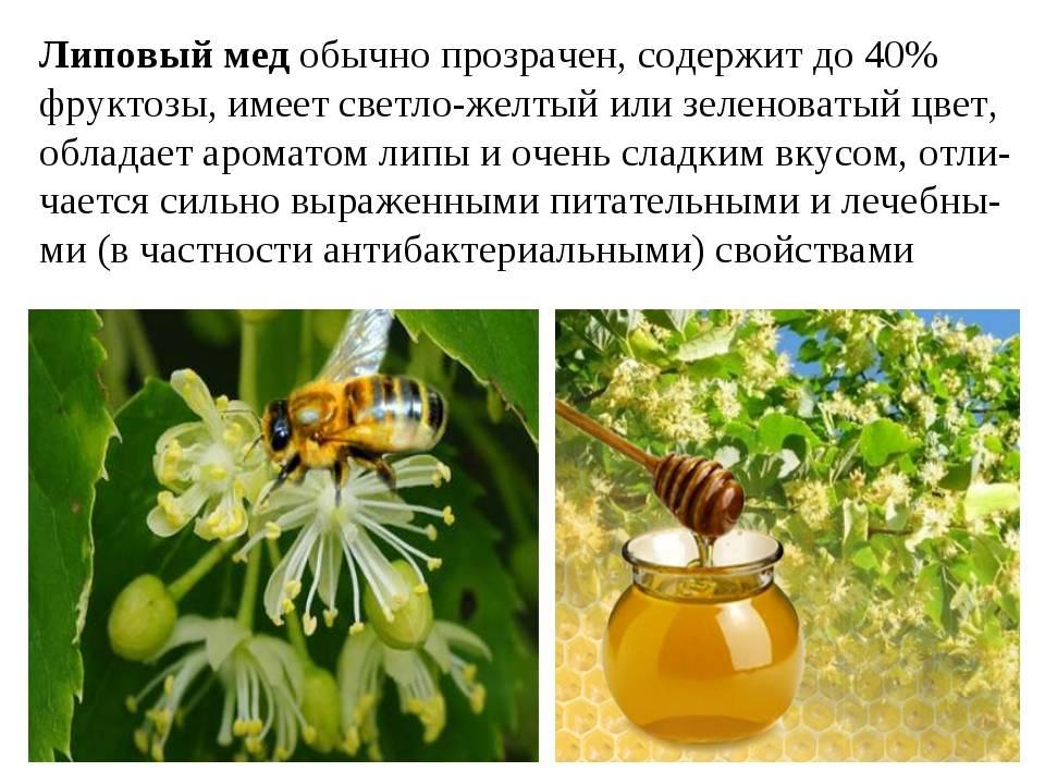Липовый мед и его полезные свойства