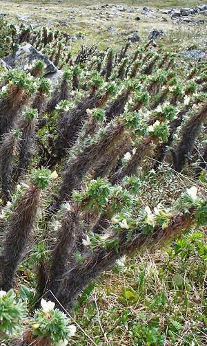 Карагана гривастая: ботаническая характеристика и применение
