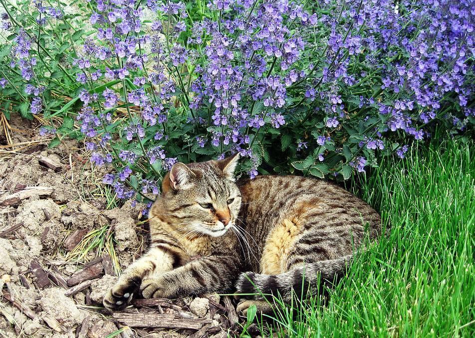 Котовник: лечебные свойства и применение в народной медицине