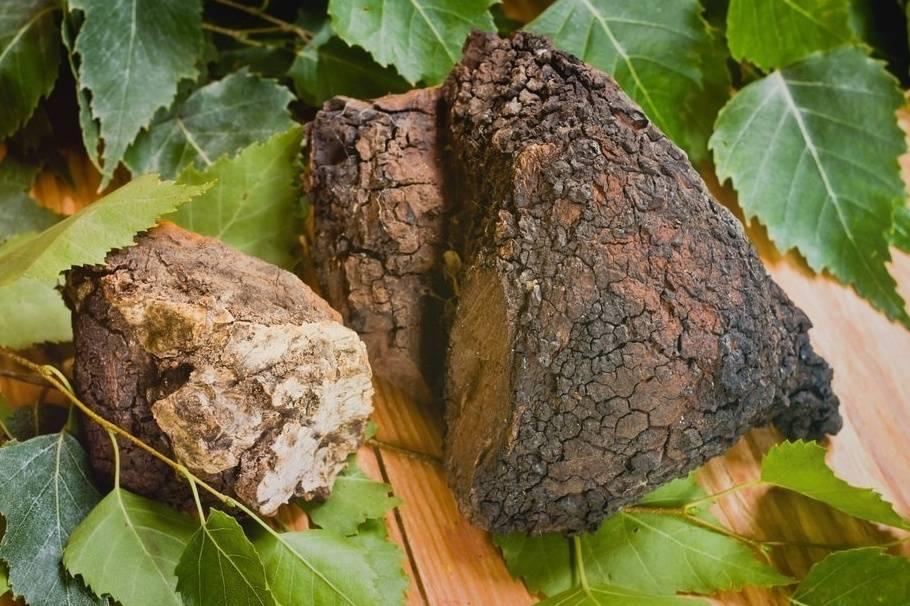 Чага. лечебные свойства березового гриба, рецепты, способы применения. противопоказания