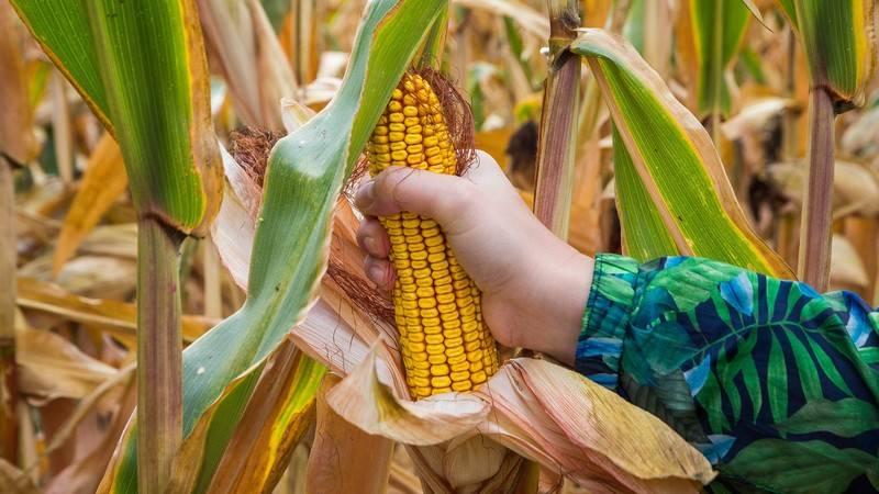 Как прорастить кукурузу