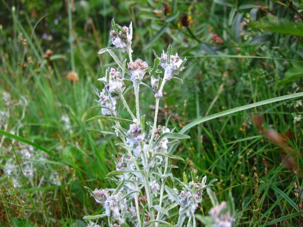 Чудо-трава сушеница: проверенное народное средство