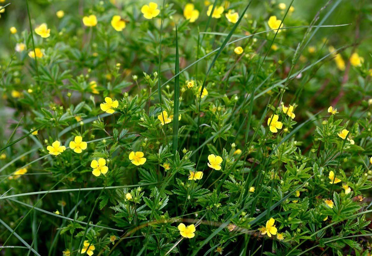 Калган — лечебные свойства растения в повседневной жизни, фото