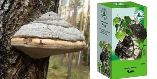 Чага (березовый гриб): полезные свойства и противопоказания