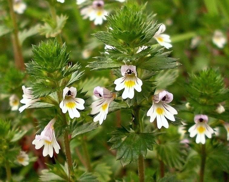 Очанка лекарственная: описание растения, лечебные свойства и противопоказания