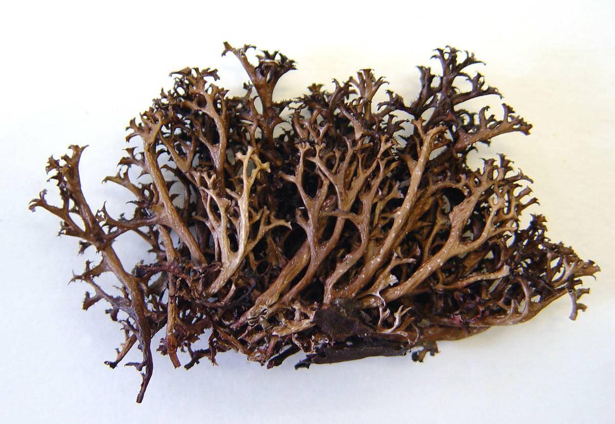 Исландский мох — польза, применение в народной медицине