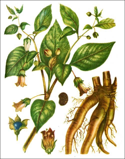 Что такое растения красавка и как его используют