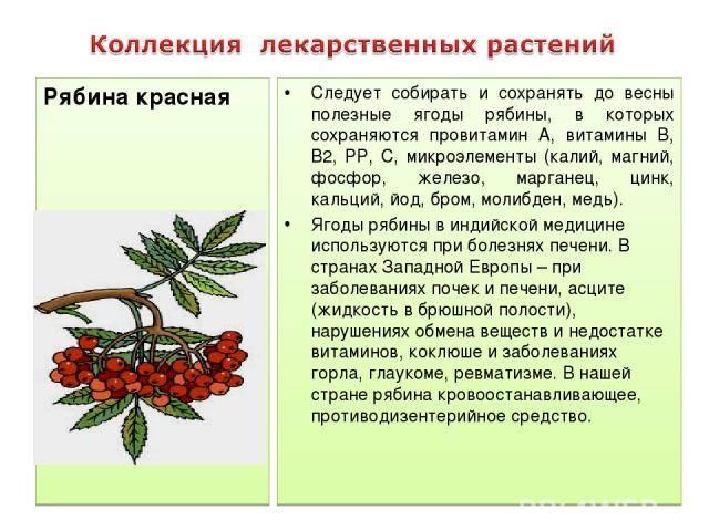 Свойства красной рябины: польза и вред для здоровья
