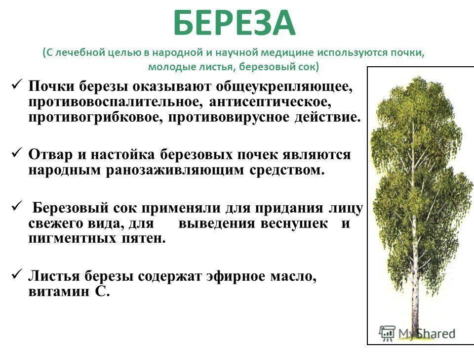 Листья березы: лечебные свойства и противопоказания, рецепты для суставов, похудения, волос, лица, от кашля
