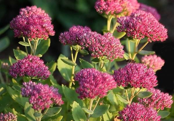 Очиток розовый — полезные свойства, описание