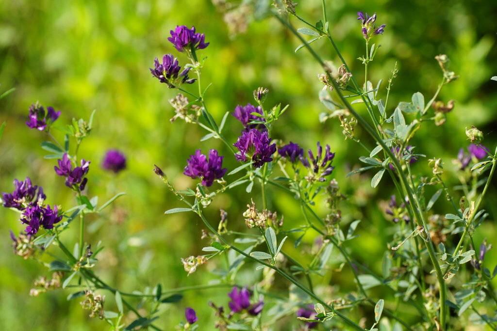 Люцерна: полезные свойства и противопоказания, ка выглядит трава?