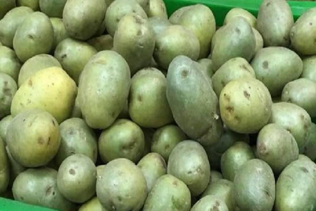 Соланин в картофеле – можно ли есть позеленевшую картошку