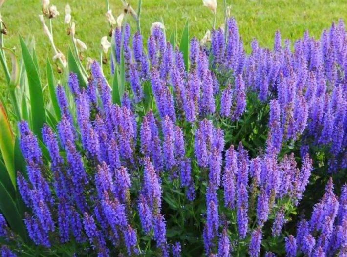 Витекс священный: лечебные свойства лекарственной травы