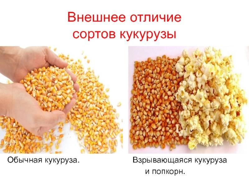 Попкорн: польза и вред для здоровья человека