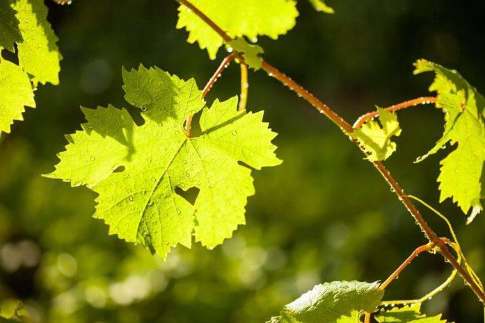 Какую пользу для здоровья дают красный виноград и его косточки