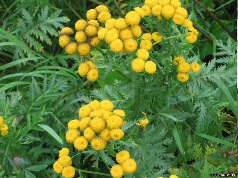 Трава пижма, лечебные свойства и противопоказания