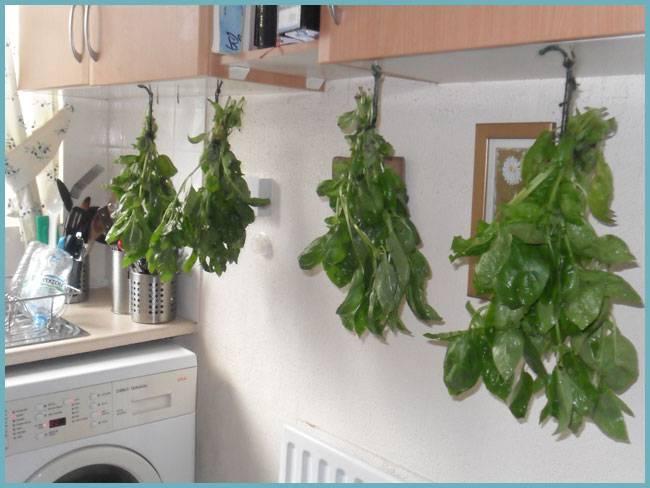 Как сушить базилик. как сушить ароматный базилик в домашних условиях