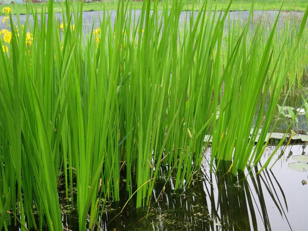 Лечебные свойства и применение аира болотного
