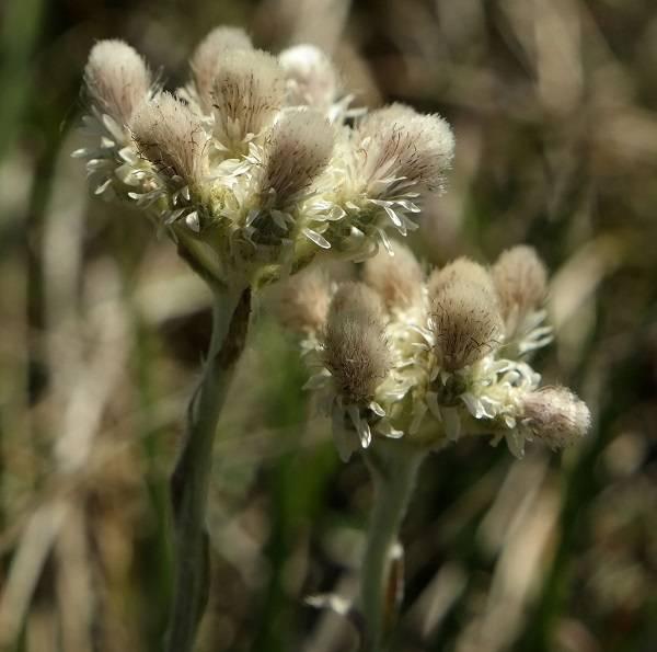 Кошачья лапка: описание, полезные свойства и противопоказания к применению растения